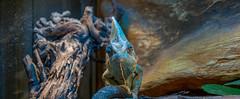 Wat ya lookin at? (Pter_Szab) Tags: chameleon veiledchameleon terrarium rep reptile minidinosaur smalldinosaur dinosaur