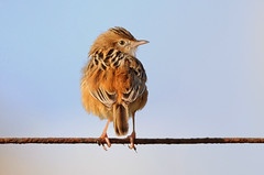 Who's behind me? - Quem est a? (Yako36) Tags: portugal peniche ave bird birdwatching nature natureza tc14e nikonafs300f4 nikond7000