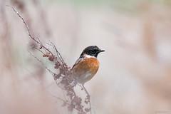 Stonechat (Shane Jones) Tags: stonechat bird nature wildlife nikon d500 200400vr tc14eii