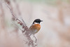 Stonechat (Shane Jones) Tags: stonechat bird nature wildlife nikon d500 200400vr tc14eii