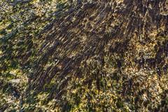 161024-0947-Seaweed (Sterne Slaven) Tags: massachusetts plymouth marblehead capecod marthasvineyard edgartown oakbluffs vineyardhaven salem lynn turkeyvulture seawall tide waves seaweed historic october sailboats lighthouse hightide lowtide wildturkeys offseason canoe sunset fisherman seagulls gulls nakedwoman lensbaby katamabeach lucyvincentbeach gayhead chappaquiddick lagoon bramble whalingchurch seacreature cemetery plimothplantation roosters spiderwebs oldburialhill pilgrims clamdiggers sanddunes barnstable taunton sexynude sunhalo fullmoon sterneslaven water fountain 1600s wampanoag mayflower pelt harbor chathamma seals ocean atlanticocean coastal newengland actors