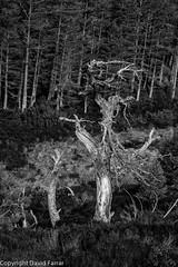 Dead Pines near Sugarbowl car park next to Allt Creag an Leth-Choin, Cairngorms (golferdave2010) Tags: dead pines 2016 7d april blackandwhite cairngorms canon flowersplants landscape scotland sugarbowl trees woodland deadpines