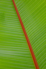 Green banana leaf background (phuong.sg@gmail.com) Tags: abstract asia backdrop background banan banana beautiful beauty botanical bright cell closeup color concept design detail element environment foliage fresh freshness green grow growth leaf lines macro natural nature organic papyrus pattern plant season simple space spring summer texture tree tropical wallpaper