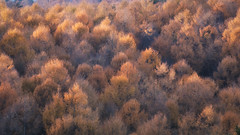 Turn Gold in White (jasohill) Tags: autumn october landscape tohoku vibrant city 2016 akita trees adventure travel golden life colors hachimantai color photography japan nature backgrounds natural photo