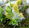Salix repens (Creeping Willow). (tom.mac) Tags: salix willow flora wildplants nature wildlife caithness