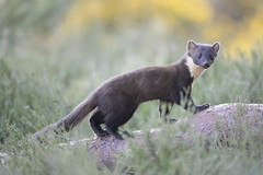 Pine Marten in the Black Isle (richard.mcmanus.) Tags: pinemarten blackisle jamesmoore scotland scottishhighlands animal mcmanus mammal britishwildlife gettyimages