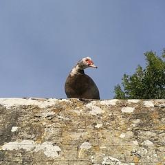 pato criollo (gerrygoal2008) Tags: canard musque pato criollo duck muscovy cairina moschata barbarie creole bird domestic nature animal