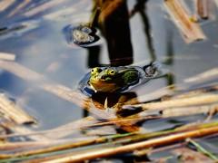 A frog (Aga Dzicio) Tags: frog water pond reflection arboretum poland biaystok alone spring eyes aba grenouille frosch woda supral wiosna animals animal