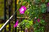 Petunia's Last Ride (Emily Stoller) Tags: pentax pentaxk5 pentax100macrowr photographers photomatix photography flowers indiana indianapolis indianaphotographers indianapolisphotographers macro midwest petunias autumn autumncolors fall foliage photoshop hdr highdynamicrange