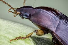 Nesarpalus empiricus, Carabidae, Coleoptera (dorolpi) Tags: