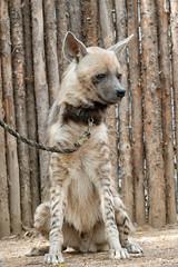 Puru the Hyena. (LisaDiazPhotos) Tags: hyena sandiegozooglobal sandiegozoo sandiegozoosafaripark sandiego sdzsafaripark sdzoo lisadiazphotos