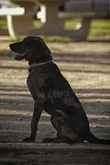 DSC_0081 (Harlum) Tags: boxer germanshepherd lab dogpark wolfhybrid husky malamute nikon nikond100 nikond5100 dogs