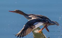 Dash away (cbjphoto) Tags: bolsachica carljackson ecological photography reserve avian bird duck inflight merganser photographer redbreasted