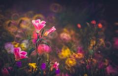 Godetia - wildflower (Dhina A) Tags: godetia clarkiaamoena sony a7rii ilce7rm2 a7r2 wildflower bokeh flower minolta rf rokkorx 250mm f56 mirror reflex minolta250mmf56 md prime rokkor colorful