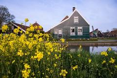 Green and yellow (Paola Salvanelli) Tags: amsterdam olanda zaanse schans mill green house wodden countryside netherlands