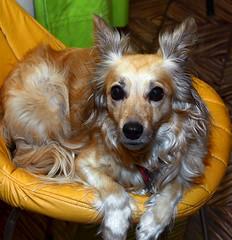 Mi mascota Tota. (jagar41_ Juan Antonio) Tags: animales animal perros perro mascotas mascota