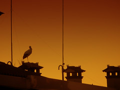 IMG_2421 sunset stork (pinktigger) Tags: stork cigüeña storch cicogne ooievaar ciconiaciconia cicogna cegonha bird nature fagagna feagne friuli italy italia oasideiquadris animal outdoor sunset chgimney roof