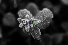 Ice Blue (J Swanstrom (Check out my albums)) Tags: flower bud blue green crystals sugar cold leaf selectivecolor monochrome bw jswanstromphotography nikon d750 extensiontubes winter closeup macro frost texture plant bokeh dof depthoffield wow