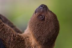 Baby Sloth (San Diego Zoo Global) Tags: sloth sloths baby babyanimals babyanimal cute nature sandiegozoo sandiego wildlife elephantodyssey adorable family animalambassador