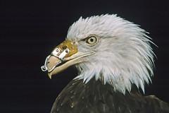 North Island Wildlife Recovery Center - Weißkopfseeadler (astroaxel) Tags: kanada british columbia vancouver island north wildlife recovery center weiskopfseeadler seeadler adler