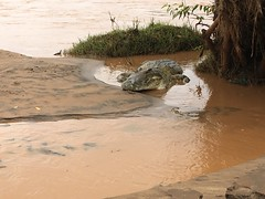 The big old crocodile at Galana river #tsavonationalpark