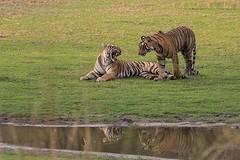 Rajasthan Safari (tourofrajasthan) Tags: rajasthansafari rajasthantigersafari travel trip rajasthantourpackages tourism