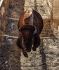 Bull Runs Out to the Range (USFWS Mountain Prairie) Tags: usfws rockymountainarsenalnationalwildliferefuge bison roundup prairie nationalwildliferefuge nationalwildliferefugesystem usfishwildlifeservice mountainprairieregion denver commercecity usdepartmentoftheinterior