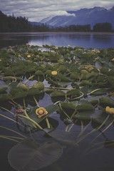 Quiet Morning on Mosquito Lake (Bokehneer) Tags: mosquitolake haines alaska usa lake water morning lilies pads nature scenic calm still quiet