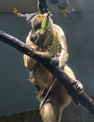 Cleveland Metroparks Zoo 06-05-2014 - Black Howler Monkey 4 (David441491) Tags: clevelandmetroparkszoo blackhowlermonkey monkey baby