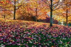 Colors... (Leo ) Tags: otoo autumn fall diciembre parque vioo liquidambar hojas suelo hierba color luz colors rbol acorua galicia