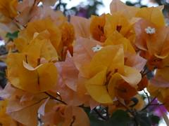 Bougainvillea, Karachi, Pakistan. (yusuf a. dadabhoy) Tags: karachi pakistan flower bougainvillea sindh sind yellow white vine vines