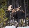 North American Moose (Turk Images) Tags: alcesalces borealwoods jaspernationalpark mountainparks northamercianungulates northamericanmoose alberta cervidae deer mammals fall mountains woodlands