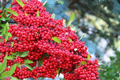 Red berries (ngawangchodron) Tags: m32 victoriagridproject oakbay victoria bc canada vancouverisland taken15december2016 yyj