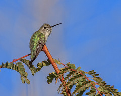 Perching Hummer (http://fineartamerica.com/profiles/robert-bales.ht) Tags: birds hummingbird calypteanna green trochilidae aves nectar brightplumage hummers southwest arizona wild wildlife nature americanphotograph iridescent male migration bird portrait perched panoramic scenic sensational spectacular awesome magnificent peaceful inspirational haybales canonshooter pollination greetingcards deserthummingbird sonoran mojavedeserts californiacalypteannas wow stupendous superb tranquil robertbales