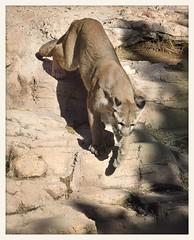 Lion Descending (gauchocat) Tags: arizonasonoradesertmuseum tucsonarizona