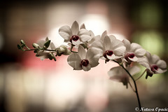 Lost On You (_Natasa_) Tags: flowers orchids white orchid whiteorchid singapore closeup dof depthoffield natasaopacic natasaopacicphotography nature art canon canoneos7d canonef100mmf28lmacroisusm