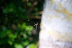 spider web (vampurr) Tags: spider spiderweb nature araña telaraña naturaleza realismomagico colombia baru cartagena