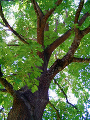 "Looking up at green Red Oak • <a style=""font-size:0.8em;"" href=""http://www.flickr.com/photos/34843984@N07/14925331394/"" target=""_blank"">View on Flickr</a>"