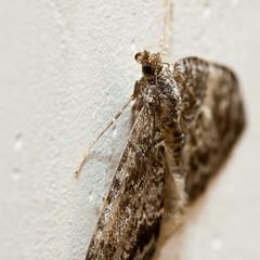 Moth on a Wall 4 (LongInt57) Tags: girls woman brown white canada black macro nature nude grey wings women bc okanagan wildlife gray models teens insects bugs moths kelowna