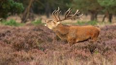 Edelhert - Cervus elaphus (wimberlijn) Tags: nature wildlife natuur reddeer edelhert nationaleparkdehogeveluwe bronsttijd edelherten oestrum wildbaan