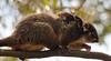 Baby on Board (bonoab) Tags: commonringtailpossum baby veronasands sigma120400mmapolens nikonsigma tasmania wildlife possum flickrchallengegroup