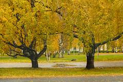 A couple of trees (Matti Vinni) Tags: autumn tree fall yellow puddle branch foliage syksy