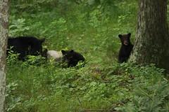 the bear family (bbosica20) Tags: nature virginia wildlife bears shen cubs shenandoah blackbears shenandoahnp blackbearcubs aniamals wildbears shenandoahwildlife