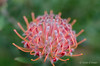 scarlet ribbon (susodediego ) Tags: scarletribbon protea proteácea carllinnaeus gondwana flower sigma35mmf14dghsm nikond7000 thegalaxy infinitexposure simplysuperb soe photosandcalendar rememberthatmomentlevel1 greatphotographers rememberthatmomentlevel2 frameit vpul01 magicmomentsinyourlife rememberthatmomentlevel03 flowerarebeautiful flickrflorescloseupmacros excellentsflowers frameitl02 olétusfotos rememberthatmomentlevel4 panoramafotográfico thebestofmimamorsgroups nature'splus