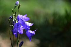 Prairie Mountain Purple Wildflower (Bracus Triticum) Tags: summer mountain canada flower purple august alberta prairie wildflower 2014 8月 カナダ hachigatsu 八月 hazuki 葉月 アルバータ州 leafmonth 平成26年
