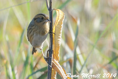 Nelson's Sparrow (rjm284) Tags: birds ma massachusetts birding mass cumbies cumberlandfarms nesp rjm284 nelsonssparrow