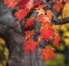Morton 13 (Jan Crites) Tags: autumn fall nature beautiful illinois october colorful arboretum lisle mortonarboretum jancritesphotography