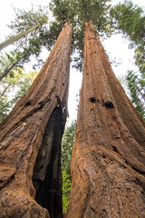 Giant Sequoia 6 (grimeshome) Tags: california camping autumn trees tree nature beautiful forest woods autumncolors redwood wilderness sequoia calaveras bigtrees giantsequoia calaverascounty calaverasbigtreesstatepark giantsequoiatree