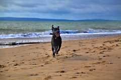 IMG_5359 (Graham H Lock) Tags: puppy seaside labrador retriever bournemouth