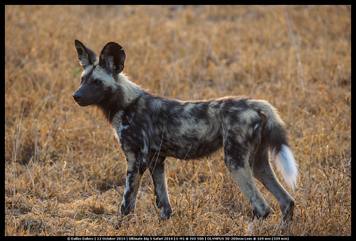 African Painted Wild Dog